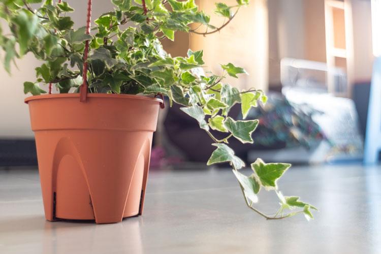 cách chăm sóc cây thường xuân