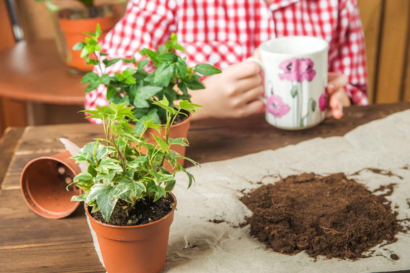 Cách trồng cây thường xuân