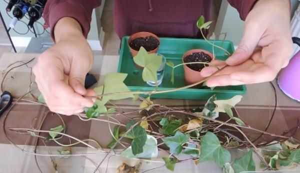 cắt cành cây thường xuân