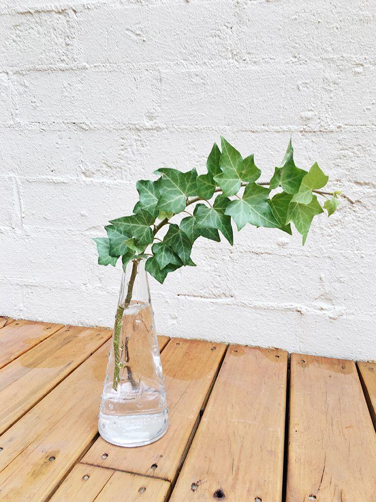 trồng cây thường xuân thủy