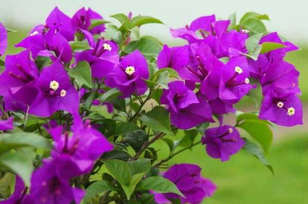 Hoa Giấy Vạn Hoa Lầu