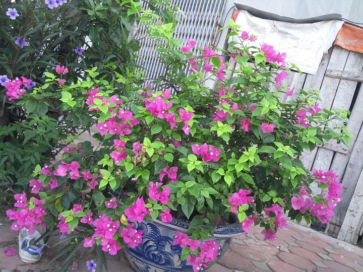 trồng hoa giấy trong chậu