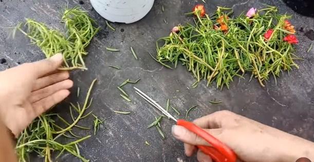 cắt cành hoa mười giờ