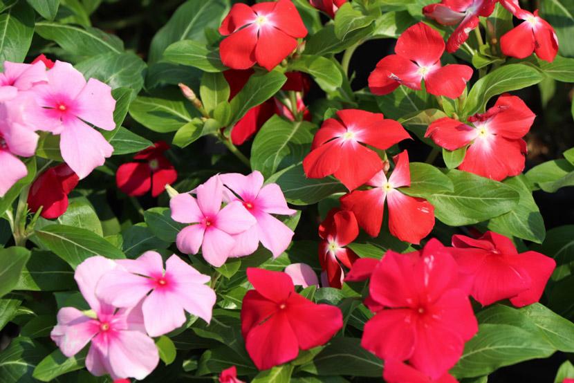 câu hoa dừa cạn