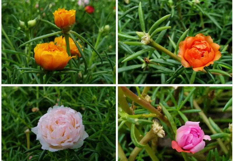các loại hoa mười giờ