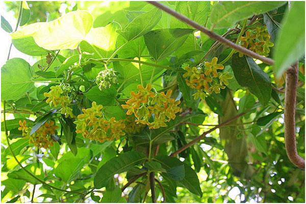 cách chăm cây hoa thiên lý