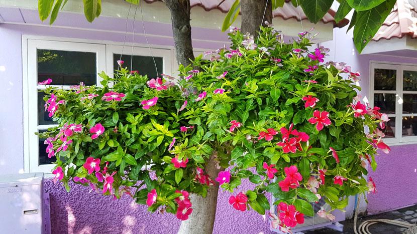 cách chăm sóc hoa dừa cạn