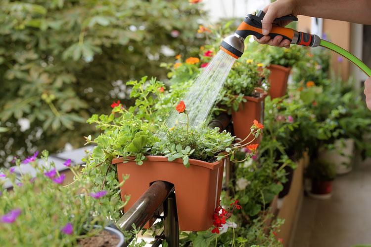 cách trồng hoa mười giờ trên ban công