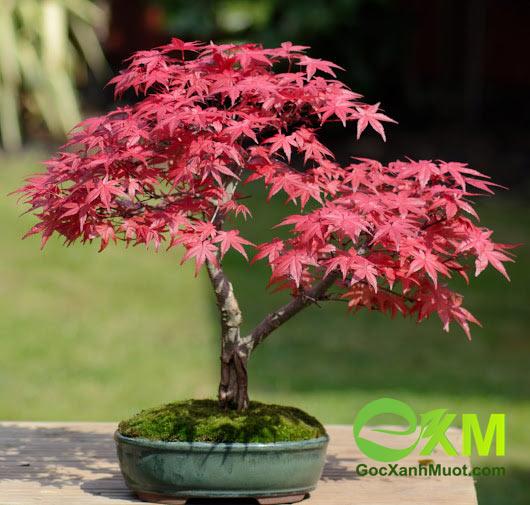 Cây Phong lá đỏ trồng thế nào