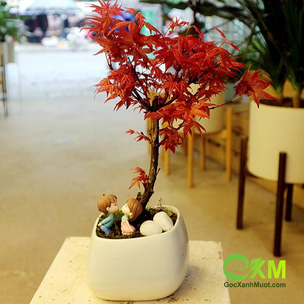 Phong lá đỏ - cây phong thủy cho người mệnh Hỏa