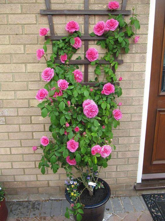giá cho hồng leo trồng sát tường