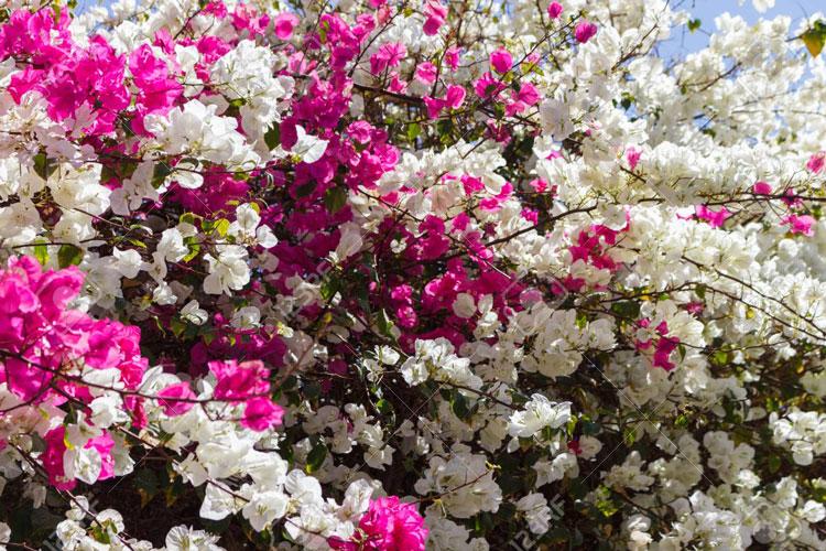 hoa giấy thái lan