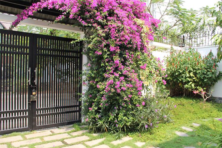 trồng hoa giấy ở cổng