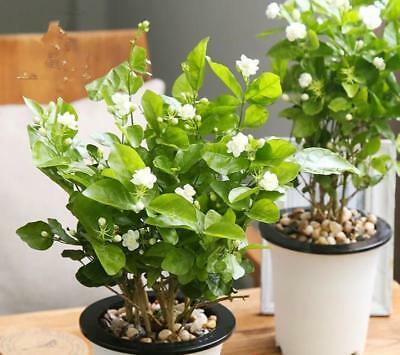 Hoa nhài màu trắng tinh khôi