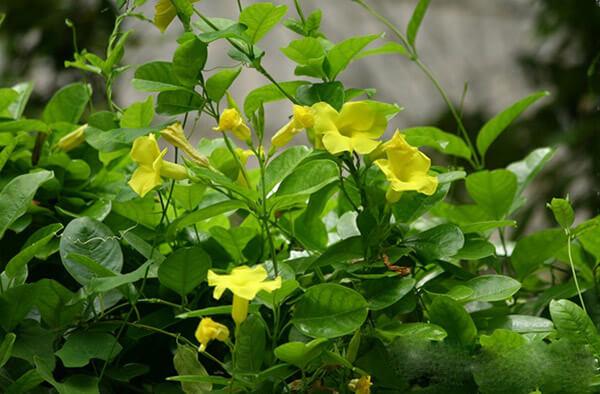 Hoa hoàng thảo sắc vàng riêng biệt