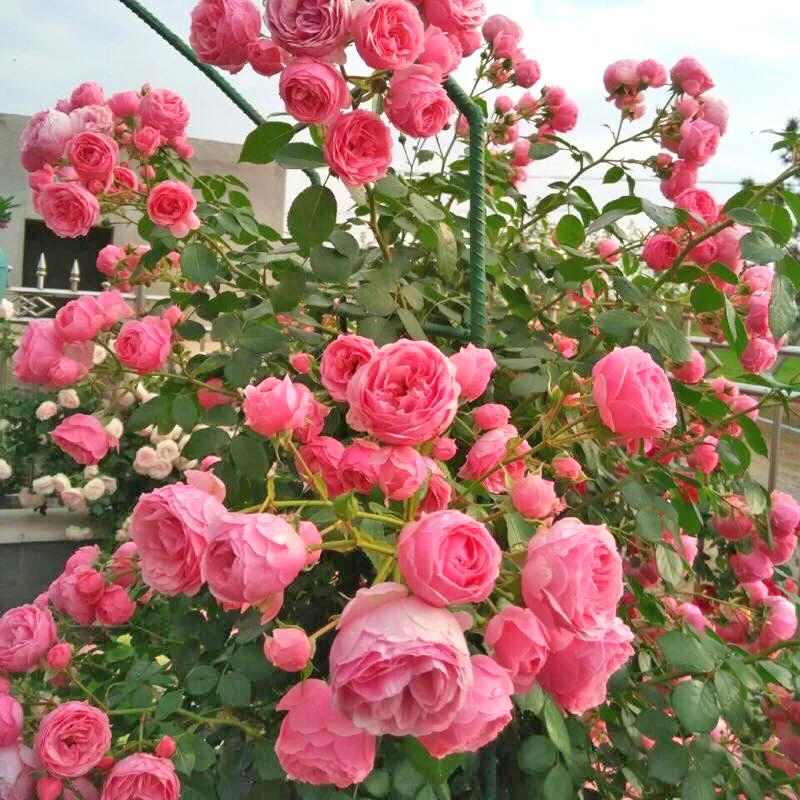 Hoa hồng leo siêu đẹp